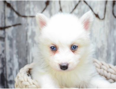 11 extraordinarily *POMSKY* puppies available