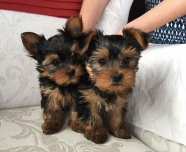 Regalo Yorkshire terrier maschio e femmina